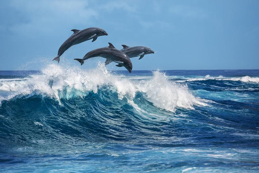 Dolphin Swimming