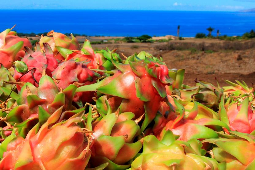 Maui Dragon Fruit Farm Tour