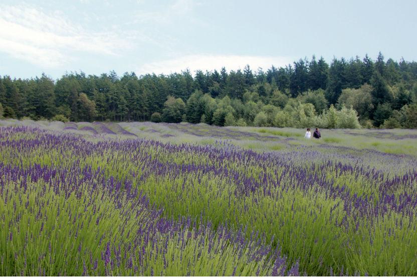 Pelindaba Lavender Farm Tour