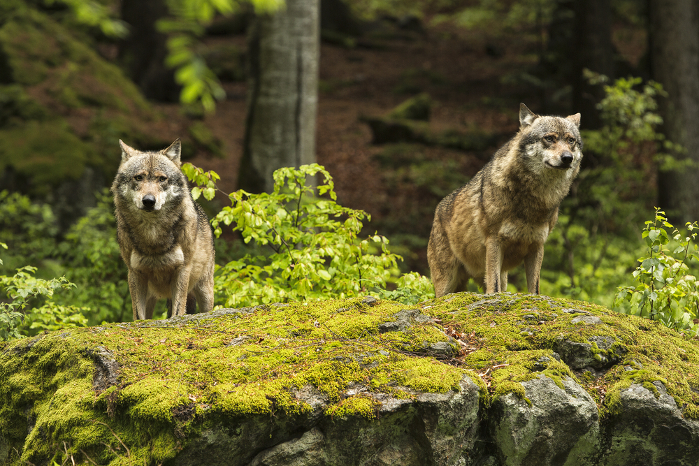 wolves-outdoor-discover-vimbly
